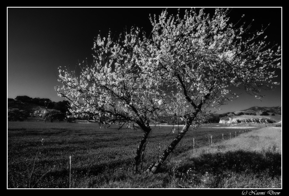Cherry Tree BW
