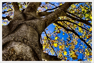 Up into the Tulip Tree