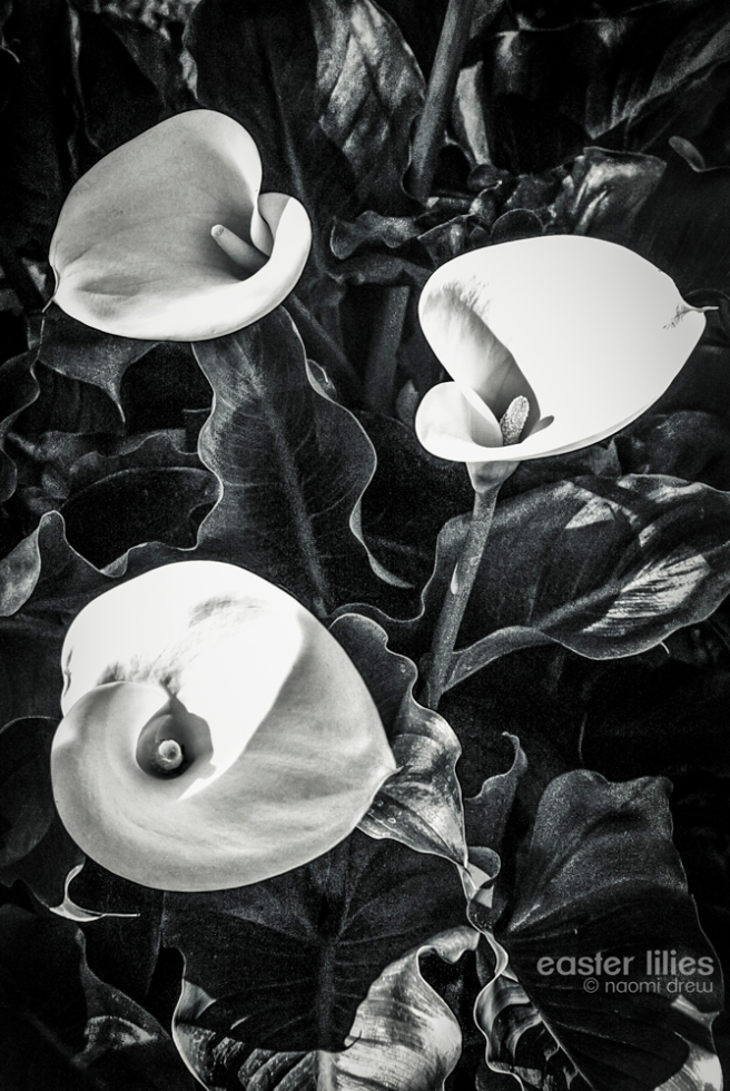 Easter Lilies BW