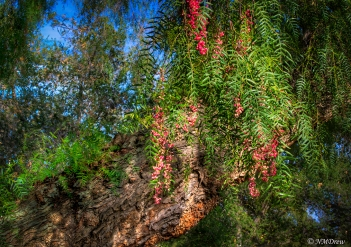 Pepper Tree in the Late Afternoon