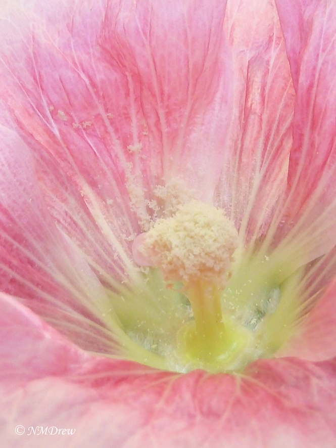 Heart of a Hollyhock