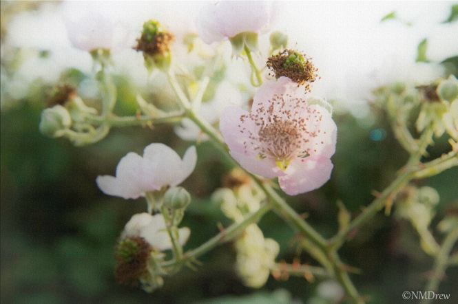 Raspberry Blossoms