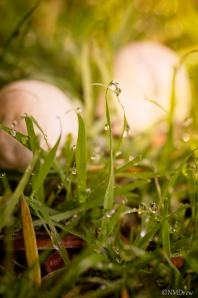 Mushrooms in the Grass