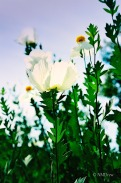 Matilija Poppy (1 of 1)