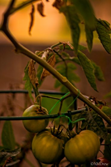 Green Tomatoes at Sunset