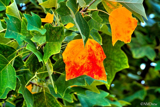 Leaves of the Tulip Tree