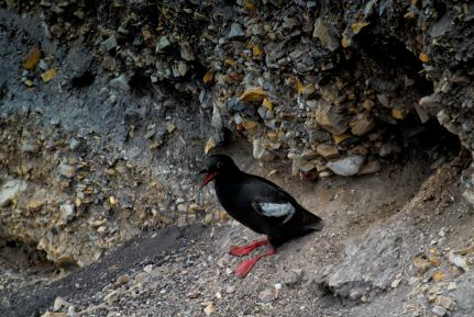 Mr. Jolly Orange Feet (Cepphus Colomba - aka Pigeon Guillemont) (1 of 1)