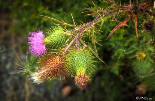 Thistle Bloom & Seed-1