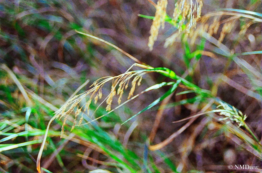 Autumnal Grasses
