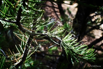 Pine Branch (1 of 1)