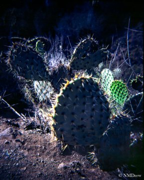 Prickly Pear I