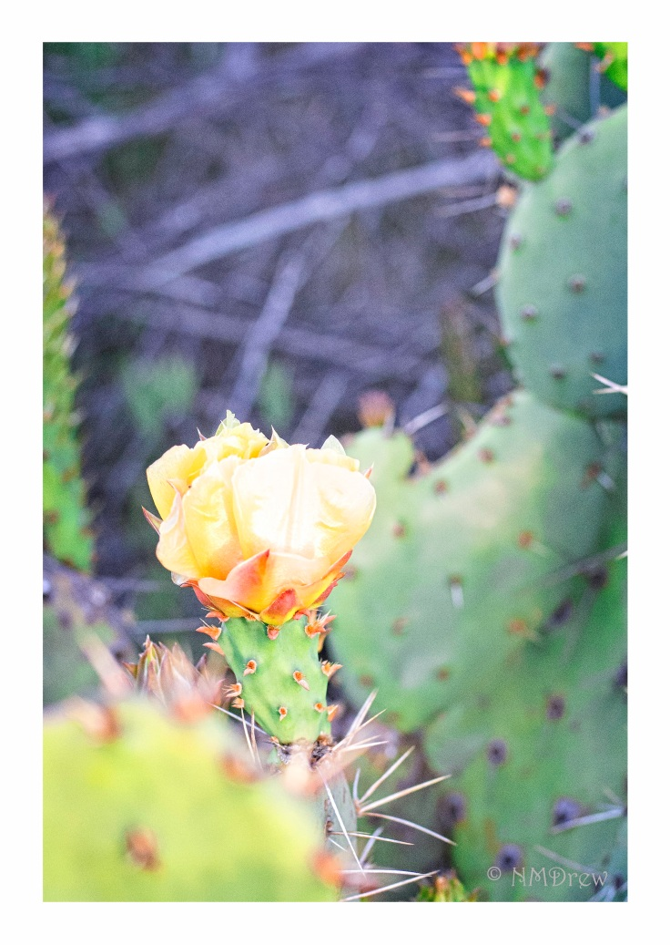 Yellow Prickly Pear