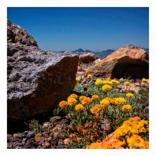Alpine Flowers on Mammoth Mountain