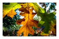 pin-oak-leaves