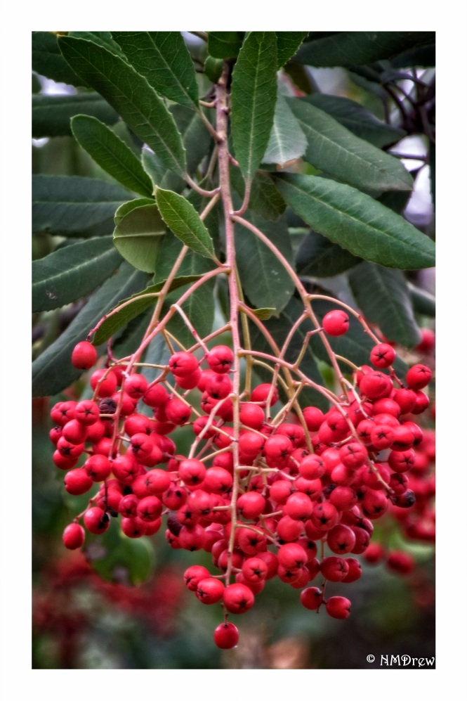 toyon-berries-christmas-berries-1-of-1