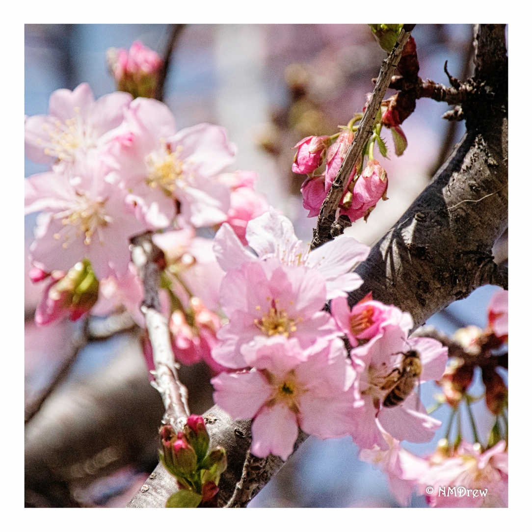 cherry-blossoms-i