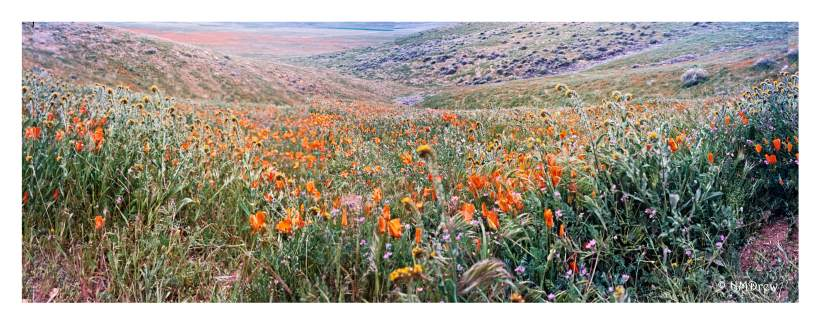 Pano of the Poppy Reserve