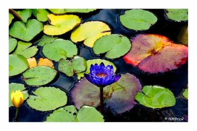 Blue Water Lilly-Edit
