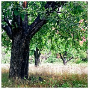 Apple Trees of Oak Creek Canyon