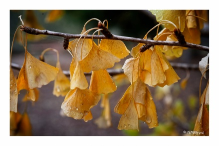 Gingko (1 of 2)