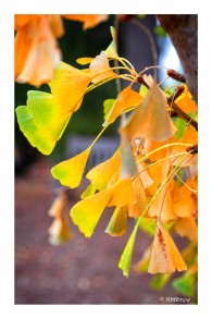 Gingko (2 of 2)