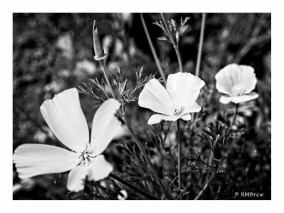 California Poppies, BW (1 of 1)
