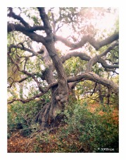 Oak Tree (1 of 1)