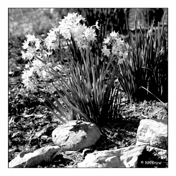 first narcissus bw (1 of 1)