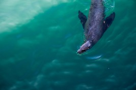 Sea Lion (17 of 20)